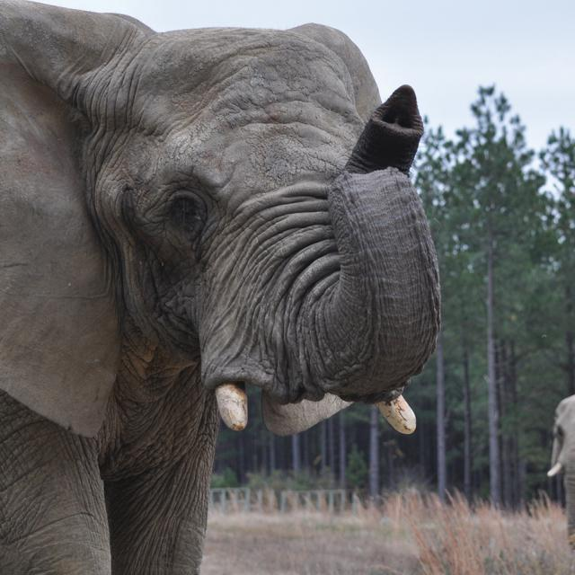 Photo Of African Elephants Background And Foreground At The Elephant Sanctuary In Tennessee