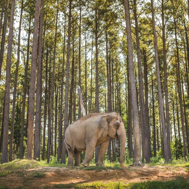 Photo Of Asian Elephant Among Trees At The Elephant Sanctuary In Tennessee